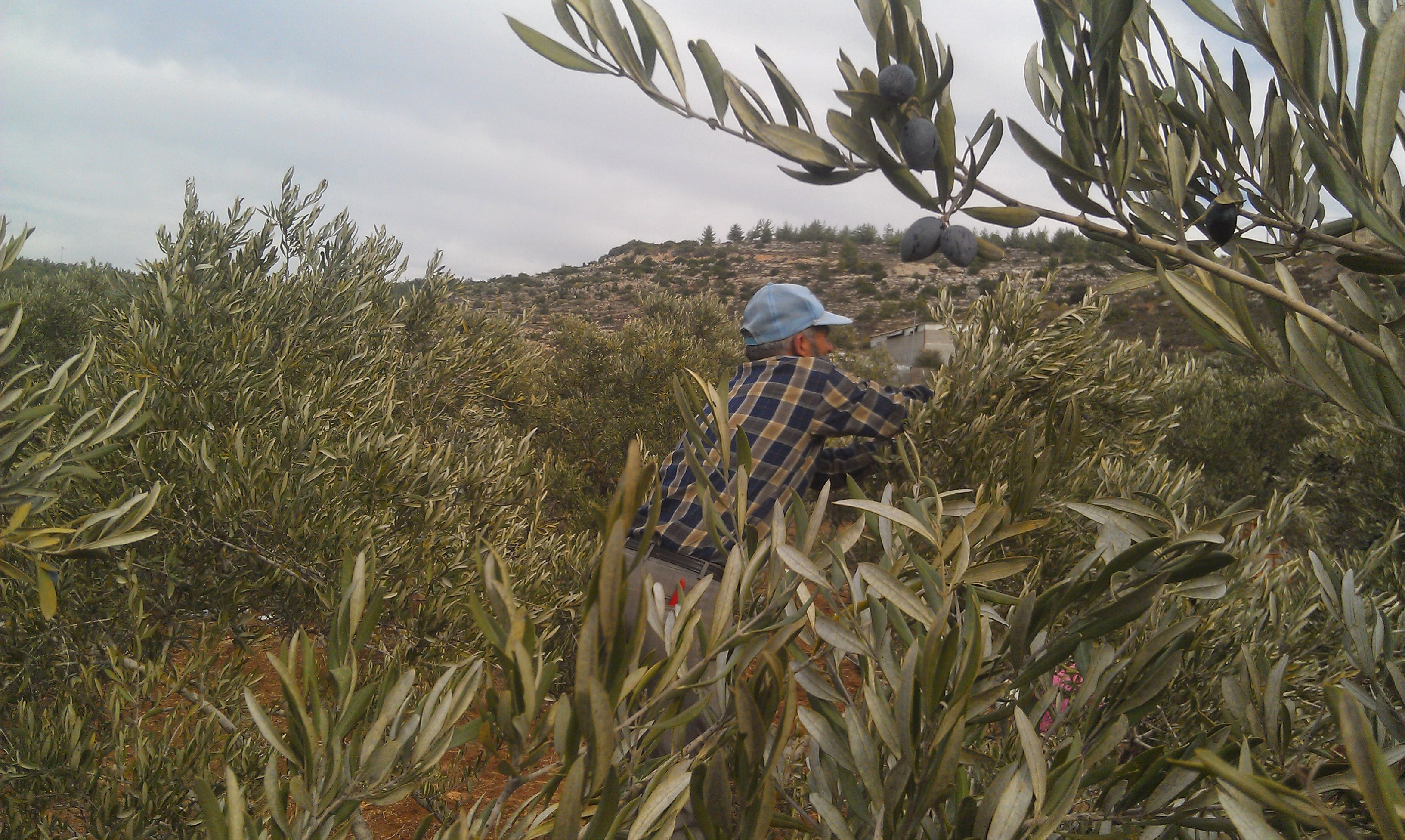 Family Tree – Olive Trees in Palestine